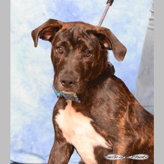 c468fc9005d Breed  Bull Terrier Boxer Mix Sex  Male Weight  40-50 pounds. Born  March  2018 (1 yr 1 mo) Color  Black and brown brindle. Date Adopted  November 6