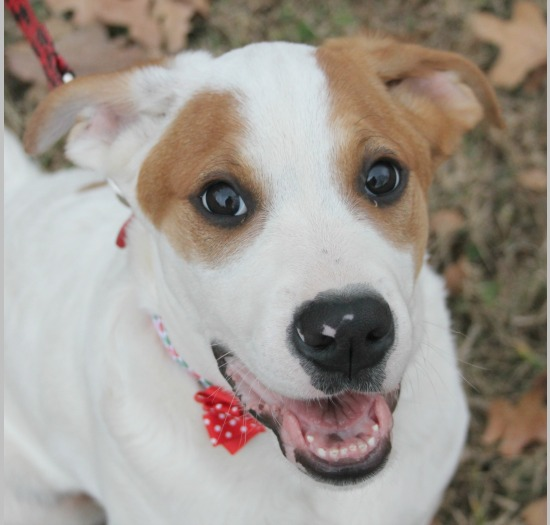 bae04d6e6f8 Breed  Boxer Spaniel Mix Sex  Male Weight  55-65 lbs- adult. Born  July  2017 (1 yr 9 mos) Color  White with Tan Date Adopted  March 30