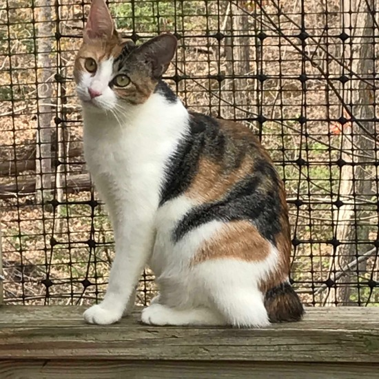 1e31568893d2f Show Information Snapshot Number: C18041JC Breed: Manx Mix Sex: Female  Born: August 2018 (0 yrs 11 mos) Color: Calico and White Date Adopted: June  22, 2019