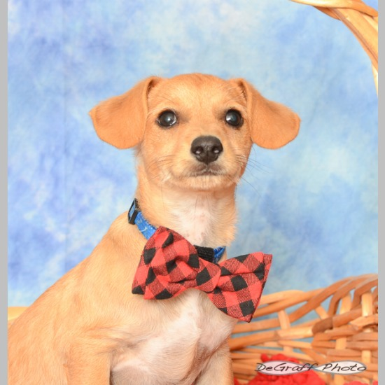 eceaa58b9ce4 Breed: Dachshund Mix Sex: Male Weight: 15lbs- adult. Born: February 2019 (0  yrs 5 mos) Color: Tan Date Adopted: May 19, 2019