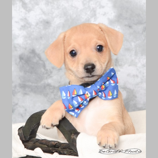 f9a0a8c9197a Breed: Chihuahua/Dachshund Mix Sex: Male Weight: 15 lbs- adult. Born:  February 2019 (0 yrs 5 mos) Color: Tan Date Adopted: May 20, 2019