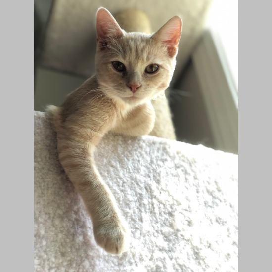 bfd9672b45cf9 Show Information Snapshot Number: c19004AC. Breed: Domestic Short Hair -  Buff Mix Sex: Male Born: March 2019 (0 yrs 4 mos) Color: Buff (sandy)
